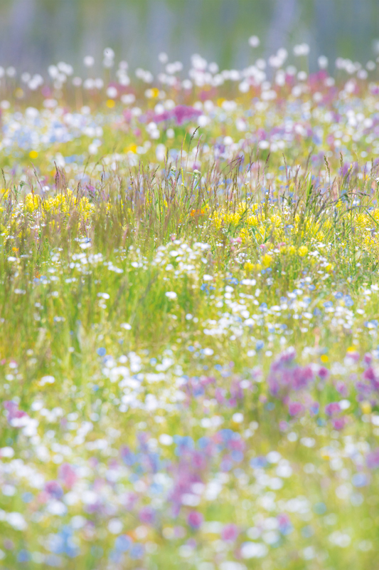 photo of a field of alpine flowers