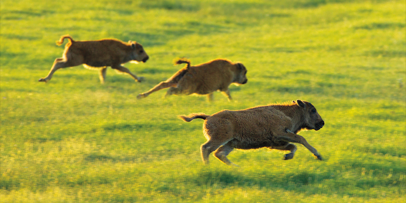 photo of three American Bison calves racing each other