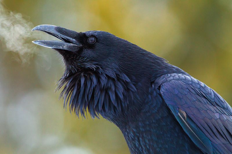 photo of a raven's head with its frosty breath