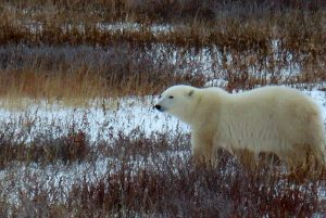 image of a polar bear on the tundra