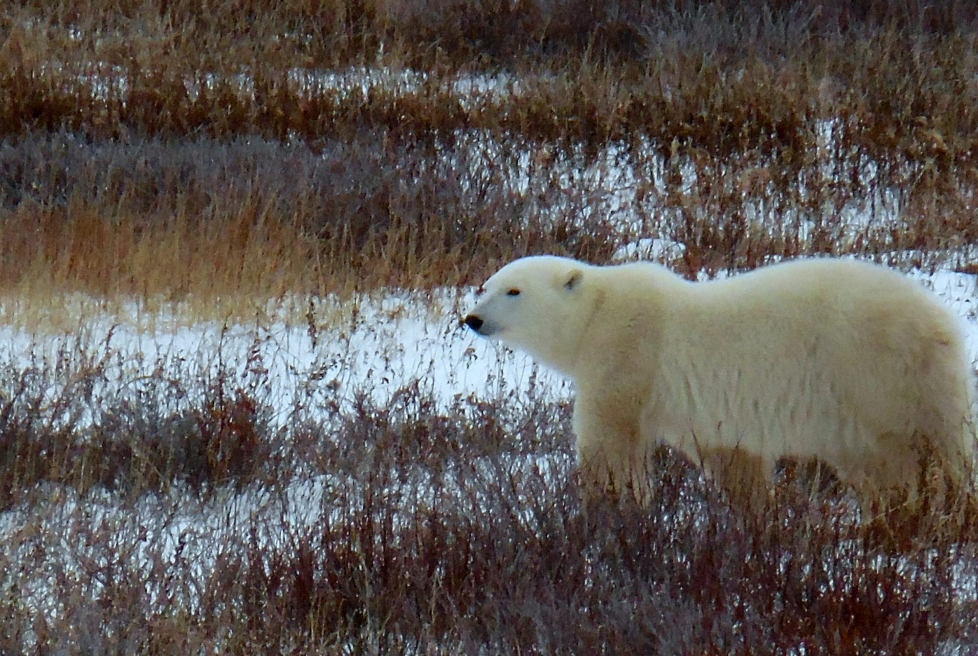 image of a polar bear on the tundra